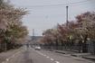 2015北斗市松前藩戸切地陣屋跡の桜