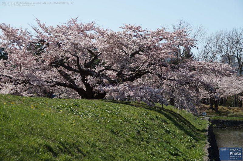 五稜郭土塁に這うようにして咲くソメイヨシノ